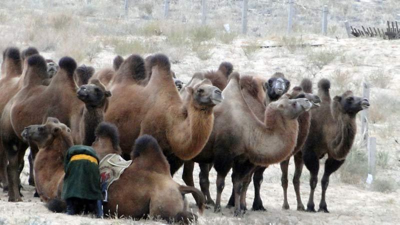 Transsibirische Eisenbahn: Mongolei - Wueste Gobi Kamele