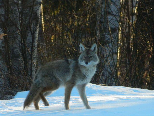 Granny Au-pair - Koyote