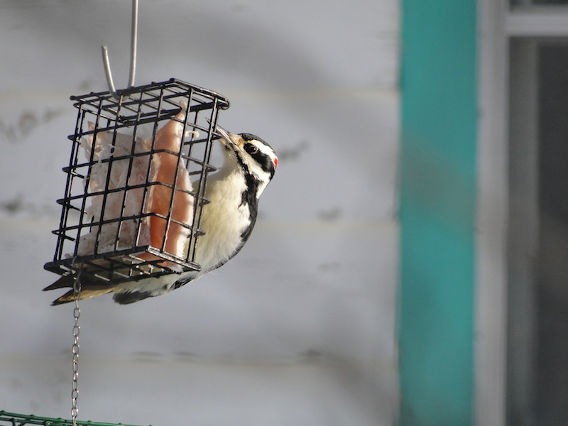 Woodpecker (feeded by a Granny Au-pair)