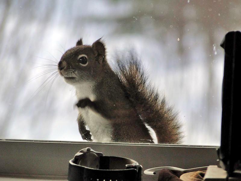 Granny Au-pair -  Eichhoernchen klopft ans Fenster