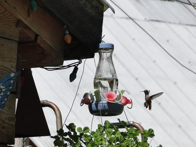 Kolibris lassen sich mit Zuckerwasser verwöhnen