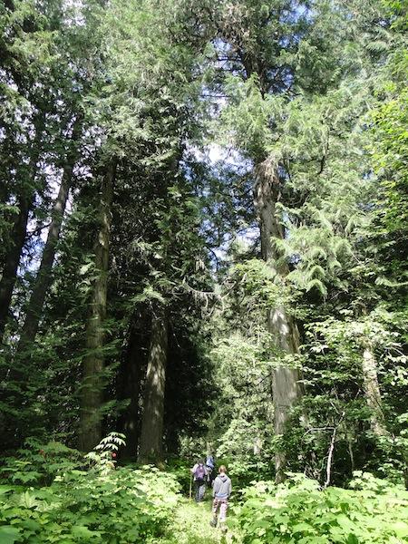 Riesige, mehr als 100 Jahre alte Bäume