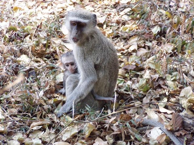 Kleine Affenfamilie im Hotelpark
