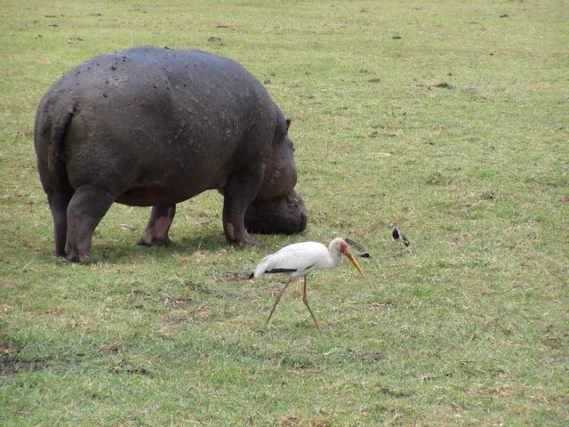 Hippo an Land
