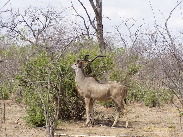 Gnu ( afrikanische Antilope)