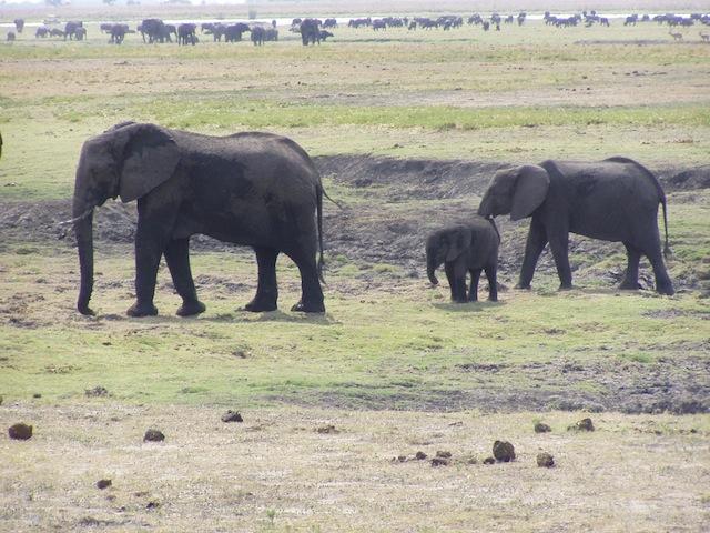 Riesige Elefantenherde