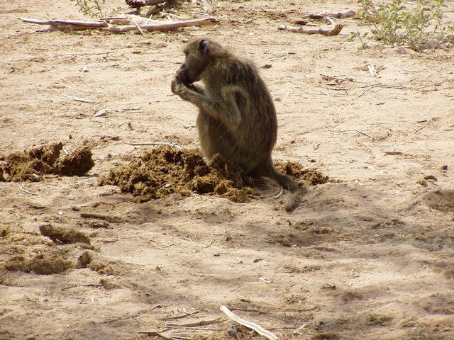 Immer und überall: Affen