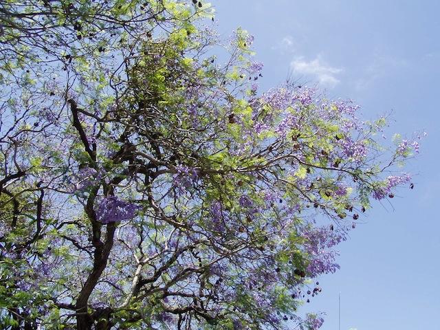 Blühender Jacaranda