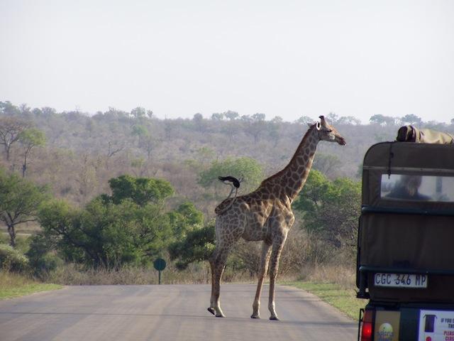 Eine neugierige Giraffe
