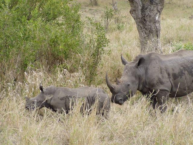 Nashorn mit Nachwuchs