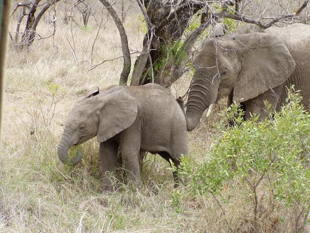 Elefantenkuh mit Nachwuchs