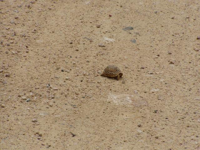 Eine kleine Schildkröte am Wegrand