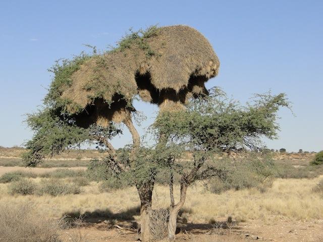 Riesige Nester der Webervögel