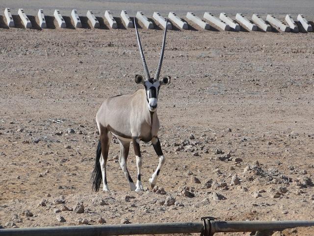 Eine einsame Antilope