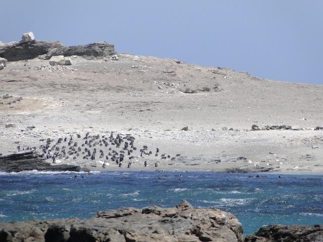 Pinguine in der Lüderitzbucht