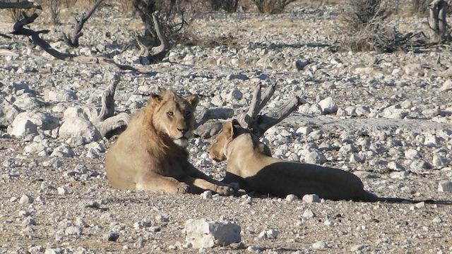 Ein Löwenpaar