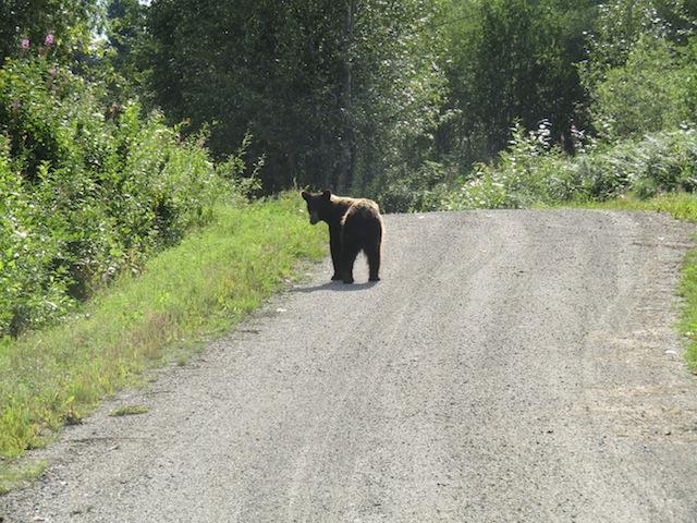 Ein Braunbär in der Gravel Pit Road
