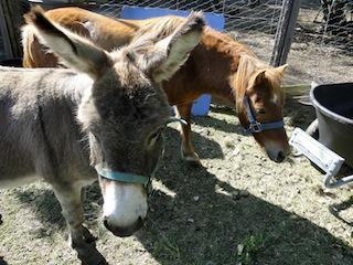 Esel + Pferd 1443