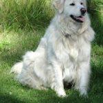 Hund 1460