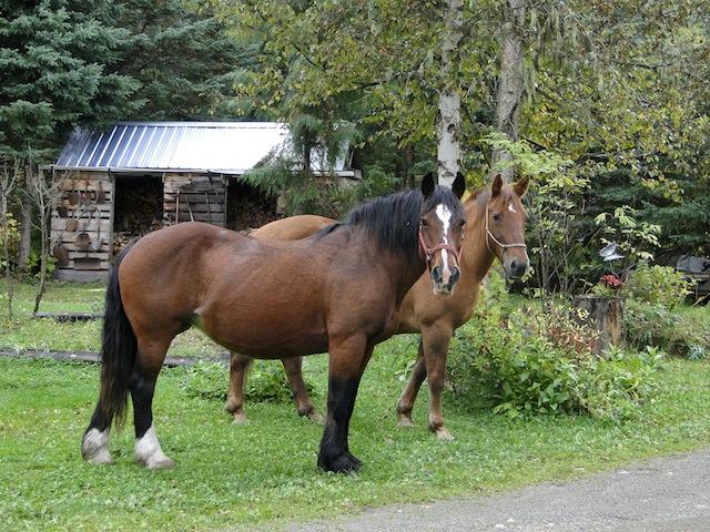 Pferde 1524